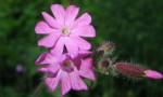 flore des Bauges - Photo : 123 Savoie