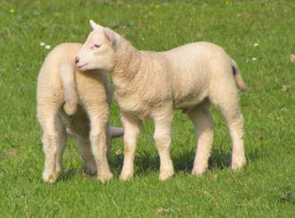 agneau pascal