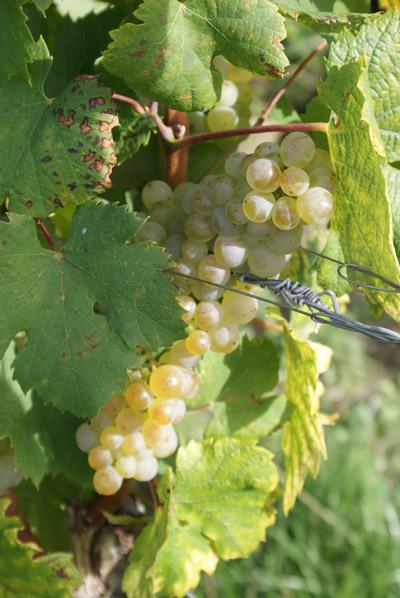 grappe © 123 Savoie
