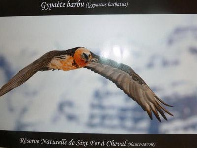 Gypaète Barbu - Réserve naturelle de Sixt-Fer-à-Cheval