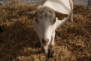 Mini ferme au Salon Saveurs et Terroirs - 1 - © Sergio Palumbo - 123 Savoie