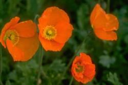 coquelicots fleur