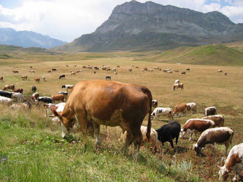 mont-cenis-vaches.jpg