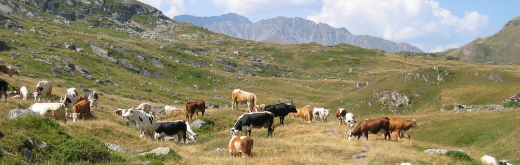 panorama-mont-cenis-vaches