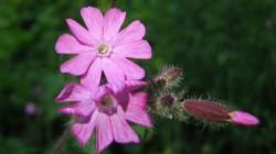 flore des Bauges