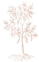 plant de cacaoyer