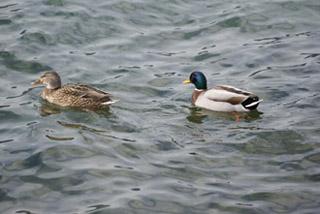 Canard sur le Lac du Bourget - © Sergio Palumbo - 123 Savoie