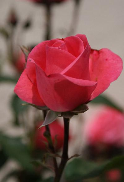 Rose rouge© Sergio Palumbo - 123 Savoie