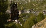 Un aigle royal sauvé à Sainte-Foy-Tarentaise